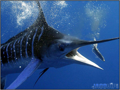 Black Marlin Fish about to bite