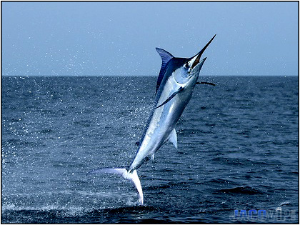 Classic image of Blue Marlin jumping.